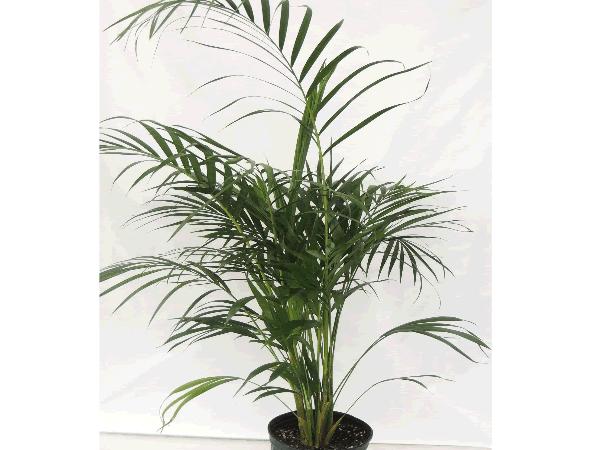 Chamaedora - Cat Palm