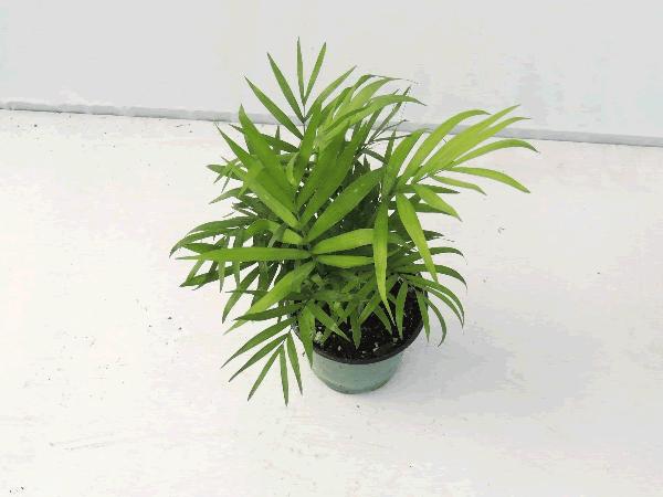 Chamaedora - Neanthe Bella Palm