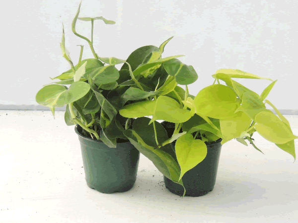 Philodendron 'Brazil' and 'Lemon-Lime'
